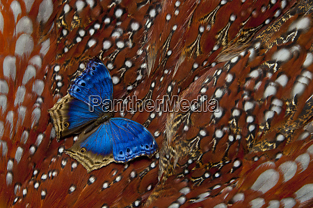 blue salamis tropical butterfly on tragopan