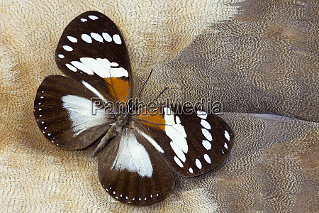 forest queen butterfly on egyptian goose