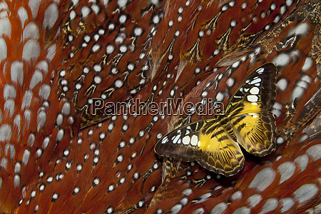 clipper butterfly on tragopan body feather