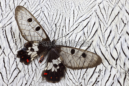 cressida cressida butterfly on silver pheasant