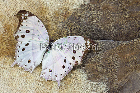 salamis parhassus butterfly on egyptian goose
