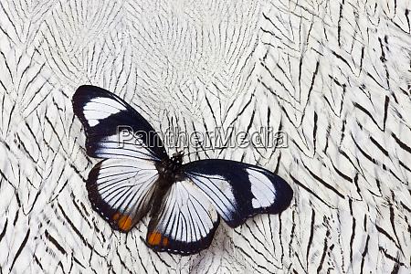hypolimnas usambara butterfly on silver pheasant
