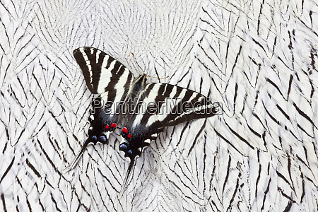 north american zebra swallowtail butterfly on