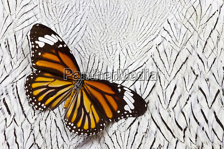 viceroy butterfly on silver pheasant feather