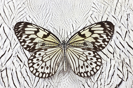 paper kite butterfly on silver pheasant