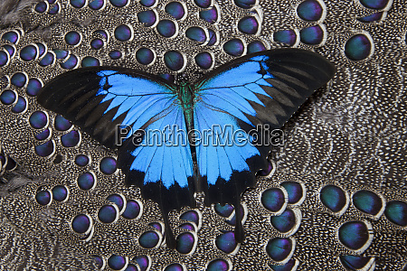 blue mountain butterfly on grey peacock