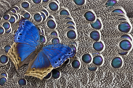 blue salamis butterfly and grey peacock