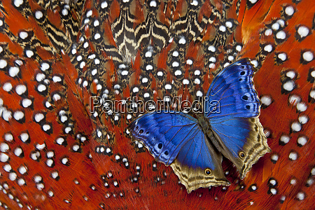 blue salamis butterfly on tragopan body