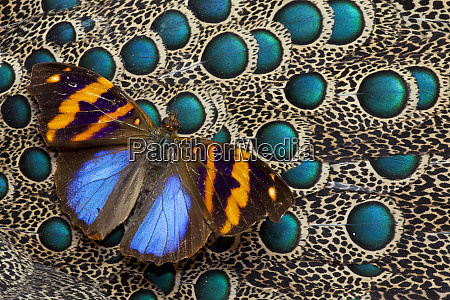 single butterfly on malayan peacock pheasant