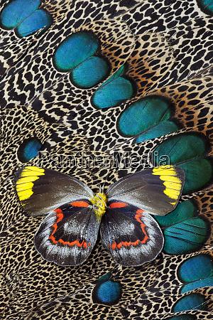 single delias butterfly underside on malayan