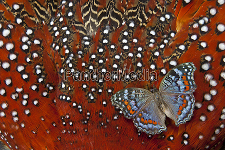 gaudy commodore precis octavia butterfly on