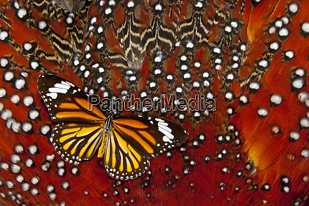 monarch butterfly on tragopan body feather