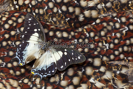 butterfly on tragopan back feather design