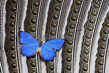 butterfly blue morpho on feather argus
