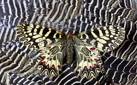 butterfly on feather design