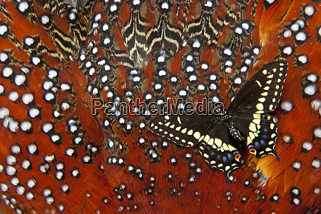 north american black swallowtail butterfly on