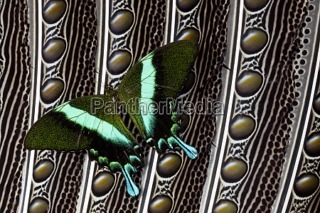 swallowtail butterfly on feather design