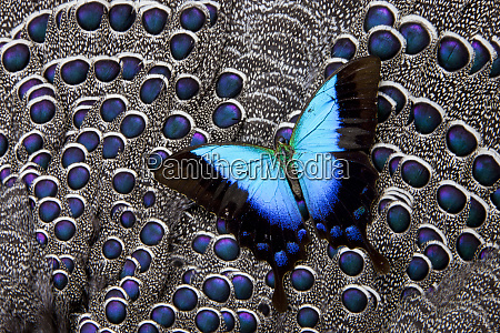tropical swallowtail butterfly on grey peacock