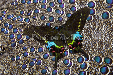 tropical swallowtail papilio krishna butterfly on
