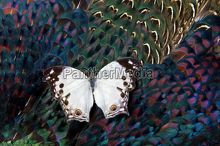 salamis butterfly on breast feathers of