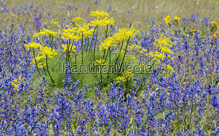 camas and sweet fennel in colorful