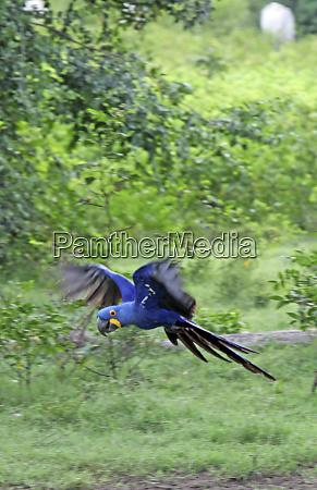 south america brazil pantanal the endangered