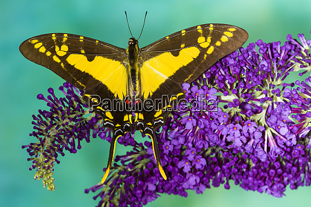 eurytides thyastes on purple butterfly bush
