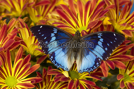 charaxes a brush footed butterfly know