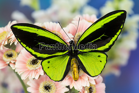 male tropical butterfly ornithoptera a birdwing