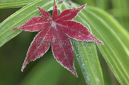 frost on fallen japanese maple leaf