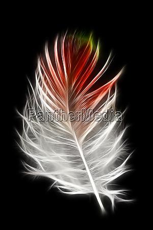 blood pheasant feather against black backdrop