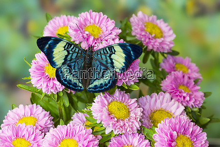 tropical butterfly panacea procilla on pink