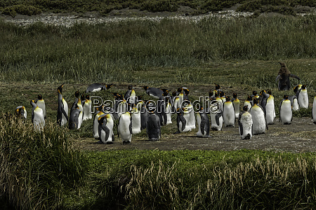 king penguin colony useless bay tierra