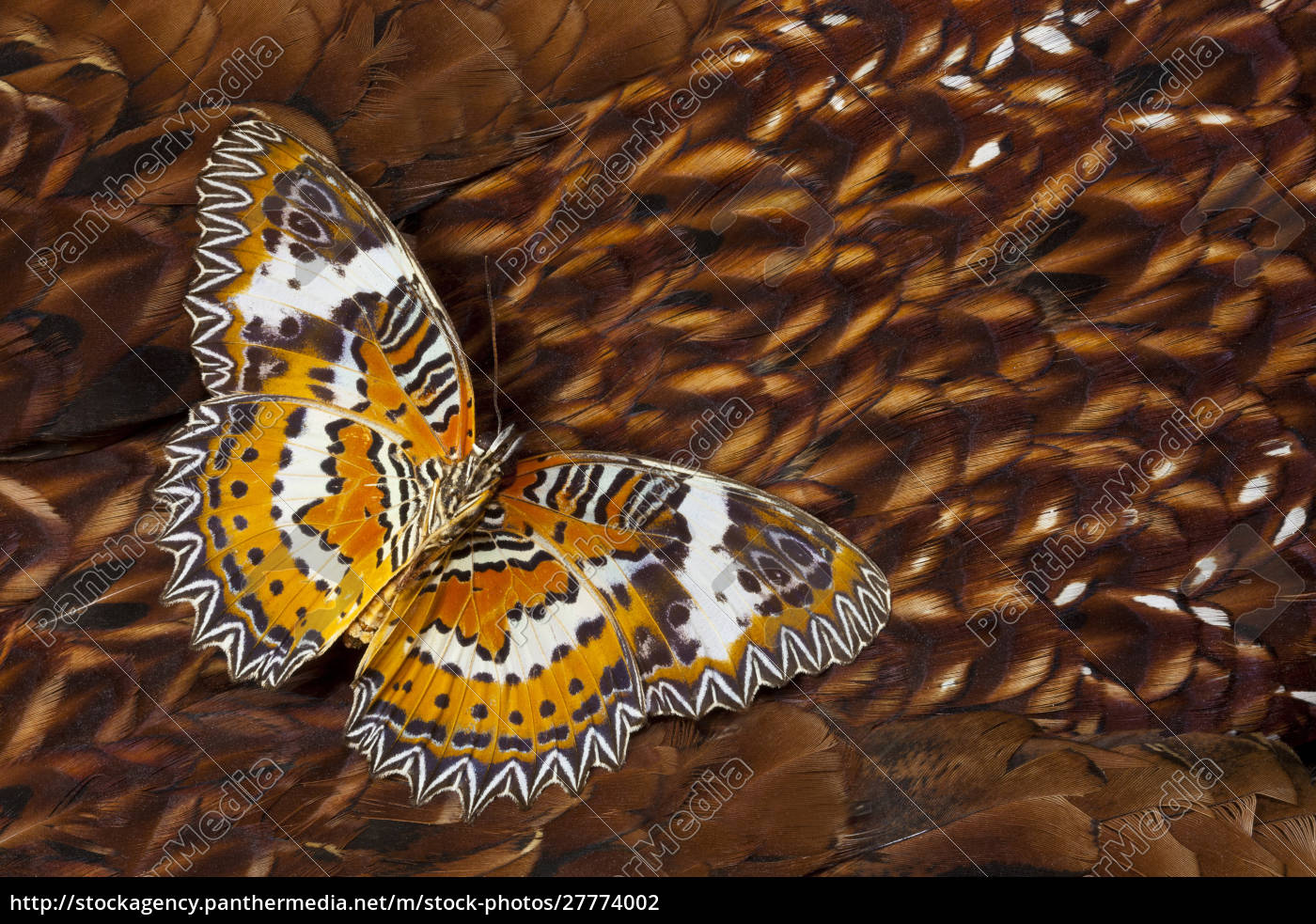 lacewing, butterfly, on, cooper, pheasant, feather - 27774002