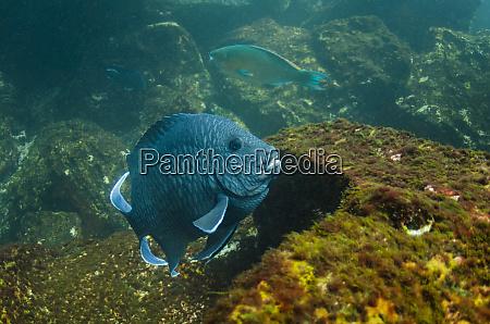 giant damselfish microspathodon dorsalis galapagos islands