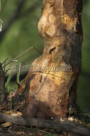 usa washington state north american beaver