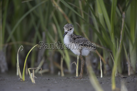 usa washington state black necked stilt