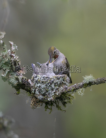 usa washington state annas hummingbird calypte