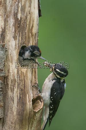 usa washington state female hairy woodpecker