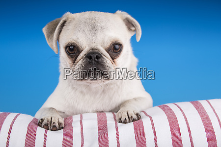 white pug puppy resting on a