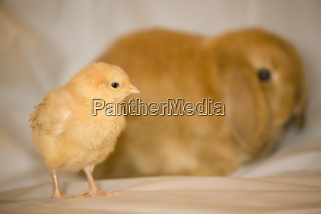 buff orpington chick and lop eared