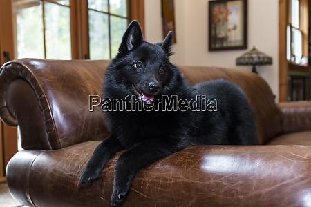 schipperke puppy looking very comfortable on