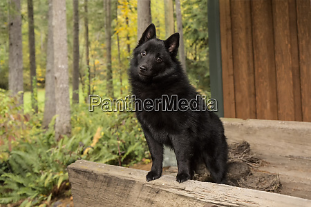 maple valley washington state usa schipperke