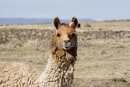 south america peru llama posing