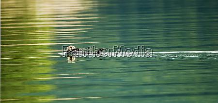 usa alaska inside passage sea otter