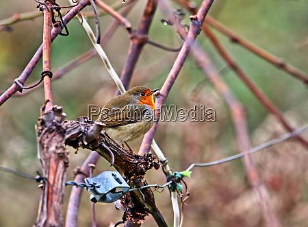 redthroat erithacus rubecula in a vineyard