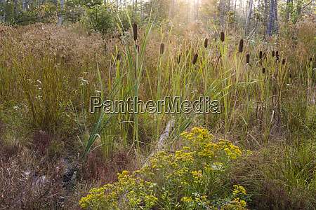 cattails grow in a low spot