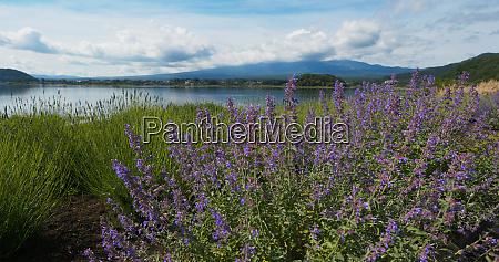 mountain fuji in kawaguchiko lake with