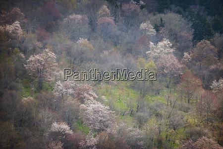 usa north carolina hardwood trees blooming