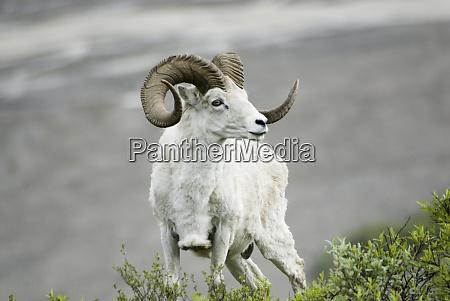 dall sheep ovis dalli dalli denali
